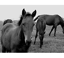 Horses black and white photography Photographic Print