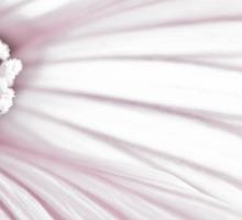 Lavatera Flower Stamen Macro  Sticker