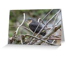 Male Eurasian Sparrowhawk (Accipiter nisus) perched in a bush. Greeting Card