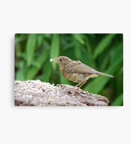Young European Robin (Erithacus rubecula) using a feeding station. Canvas Print