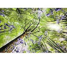 Bluebells viewed from a worms eye Photographic Print