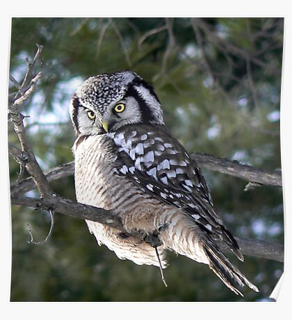 The look ~ Northern Hawk Owl Poster