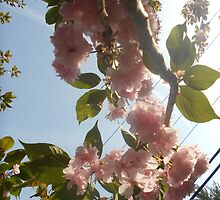 Pink Cherry Blossoms by Grace314