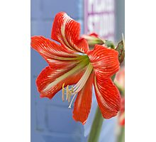 Tania's Happy Hippy plants - Hippeastrum Photographic Print