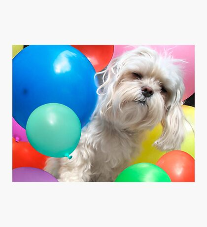 Attack of the Killer Balloons - Fun Maltese Dog Portrait Photographic Print