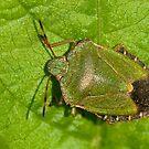 Green Shield Bug by Kawka