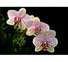 Spotted orchids Photographic Print