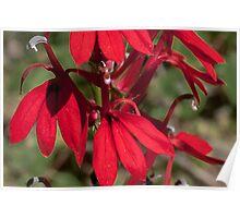Cardinal Flower Poster