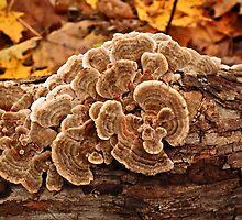 trichaptum biforme fungus  by BonnieToll