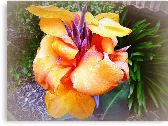 Orange Canna - my garden by EdsMum