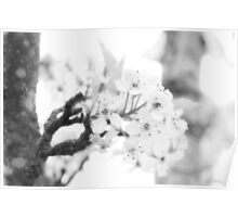 tranquil apple blossoms...three~ Poster
