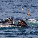 Humpback Whales feeding by Rob Lavoie