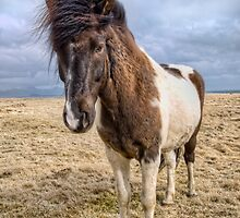 Icelandic horse stands in judgment by Michael Stiso
