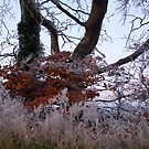 Frost and Beech by MigBardsley
