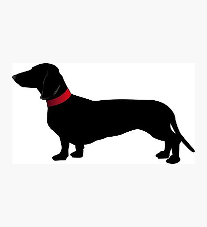Black sausage dog with red collar Photographic Print