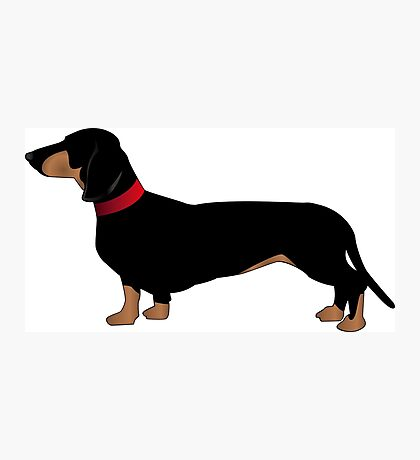 Black & brown sausage dog - red collar Photographic Print
