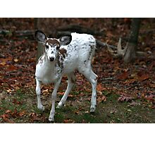 Piebald Deer, Maryland woods, United States Photographic Print