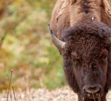American Bison Buffalo in a fall setting Sticker