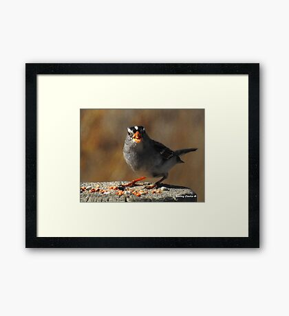 Male White Crowned Sparrow Framed Print