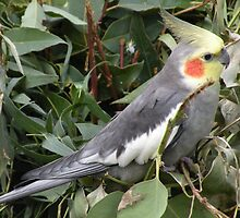 Cockatiel : Nymphicus hollandicus by Trish Meyer