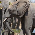 'A Beautiful Baby in Grey' - Balule, South Africa by pennies4eles