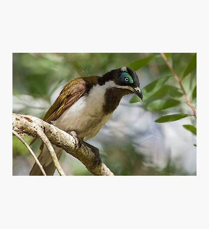 Blue-Faced Honeyeater, Redhead NSW Photographic Print