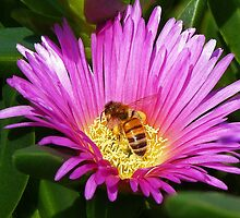 Bee Collecting Pollen On Pigface Flower by Margaret Saheed