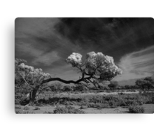 Windswept Myall Canvas Print