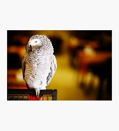 African grey parrot Photographic Print