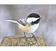 Chickadee on a used to be tree Photographic Print