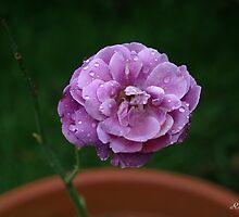 Raindrops on Rose petals by rawilliams
