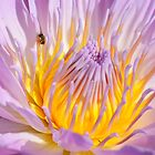 Water Lily, in Pink and Yellow by cclaude