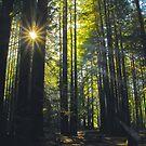 Light Through Trees by Barbara  Brown