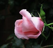 Sleeping Beauty - Dreamy Pink Rose by kathrynsgallery