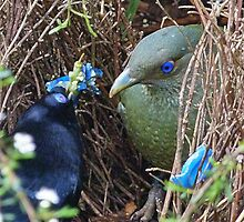Satin Bowerbirds - A Courting Gift by Margaret Saheed