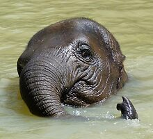 Watch My Trunk - Young Asian Elephant by Margaret Saheed