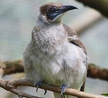 Little Friarbird by Margaret Saheed