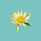 Photo of a single white water lily by LastLittleBird