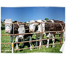 Friendly Cows Poster