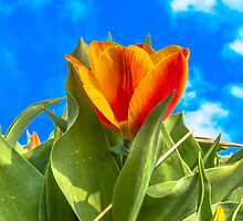 Sunny Tulip by AlexFHiemstra