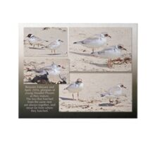HOODED PLOVER LOG ~ Young Hooded Plovers Art Board