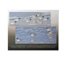 HOODED PLOVER LOG ~ Adult and Juvenile Hooded Plovers Mingle Art Board