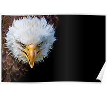 Angry north american bald eagle on black background Poster