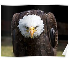 Beautiful north american bald eagle Poster