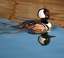 Hooded Merganser I by Photography by TJ Baccari