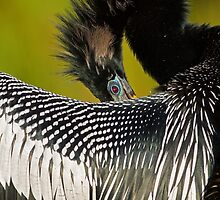 Shy Anhinga by William C. Gladish