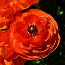 Perfect Ranunculus by Penny Smith