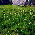 Hawthorn and Daffodils by cclaude
