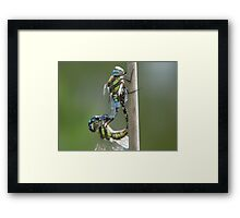 mating hawkers Framed Print