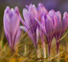 Crocus sativus . no.2. by Artist Doctor Andrzej Goszcz . 807 views .   Thanks ! by © Andrzej Goszcz,M.D. Ph.D